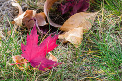 Czerwony liść klonowy na trawie Zdjęcia Stock