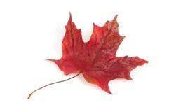 Czerwony liść klonowy Obraz Royalty Free