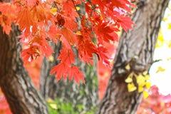 Czerwony liść klonowy, Południowego Korea jesień Zdjęcie Stock