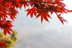 Czerwony liść klonowy, Południowego Korea jesień Zdjęcia Royalty Free
