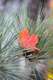 Czerwony liść klonowy wewnątrz Wśród Sosnowych igieł Obraz Royalty Free