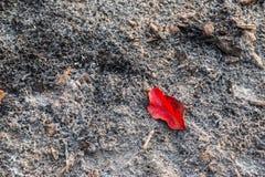 Czerwony liść na popiółach od oparzenie opuszcza, może używać jako backgroun, zdjęcie royalty free