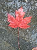 Czerwony liść na ziemi zdjęcia stock