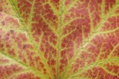 Czerwony liść od drzewnego makro- strzału jak ekologii rośliny abstrakt tupocze Zdjęcie Stock