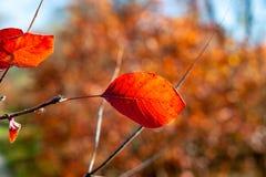 Czerwony liść podkreślający słońcem obraz stock