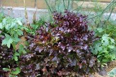 Czerwony liść sałaty dorośnięcie w sadzie Zdjęcie Stock