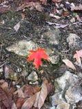 Czerwony liść wśród brązu obrazy stock
