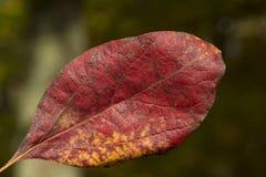 Czerwony liść w powietrzu fotografia stock