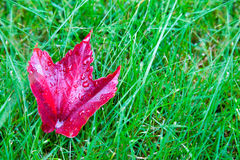 Czerwony liść w trawie Obraz Royalty Free