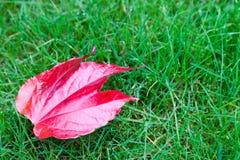 Czerwony liść w trawie Obrazy Royalty Free