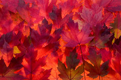 Czerwony liścia klonowego spadku koloru tło Zdjęcia Stock