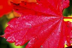 Czerwony liścia klonowego zakończenie W górę Żółtego złota Snoqualme Jeziornej przepustki Washingt Obrazy Royalty Free