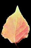 Czerwony liść Zdjęcie Royalty Free