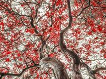 Czerwony liścia drzewo Zdjęcia Royalty Free
