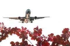Czerwony liścia Warbler samolotu bielu backgroun Obraz Royalty Free