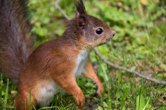 Czerwony śliczny wiewiórczy obsiadanie na jego tylnych nogach w trawie Zdjęcie Royalty Free