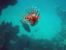 czerwony lionfish Fotografia Royalty Free