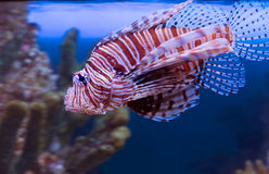 Czerwony Lionfish Fotografia Stock