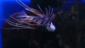 Czerwony lionfish jest venomous, rafy koralowa ryba wewnątrz zbiory wideo