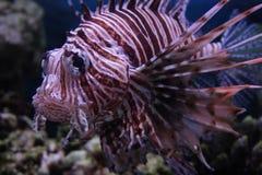 czerwony lionfish ryb Obraz Royalty Free