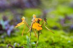 Czerwony lipped habenaria w makro- Zdjęcie Royalty Free