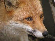 czerwony lis Obrazy Royalty Free