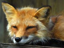 czerwony lis Obrazy Stock
