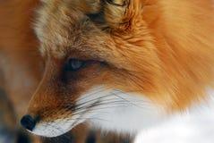 czerwony lis Fotografia Royalty Free