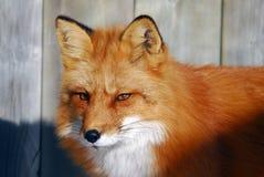 czerwony lis Zdjęcie Royalty Free