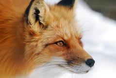 czerwony lis Obraz Royalty Free