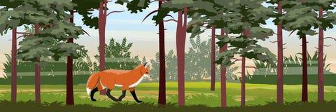 Czerwony lis chodzi w lato sosny lesie ilustracja wektor