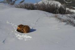 Czerwony lis fryzował up w snowbank blisko Churchill, Manitoba Kanada Zdjęcia Stock