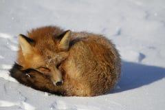 Czerwony lis gapiący się fryzował up w snowbank podczas gdy Obrazy Stock