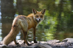 Czerwony lis gapi się z powrotem na brzeg Zdjęcie Royalty Free