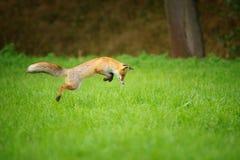 Czerwony lis na polowaniu, mousing w trawy polu Zdjęcie Royalty Free