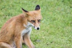 Czerwony lis na trawie Fotografia Stock