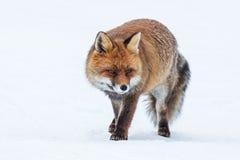 Czerwony lis (Vulpes) Obraz Stock
