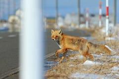 Czerwony lis, Vulpes vulpes, krzyżuje drogę Zdjęcia Royalty Free