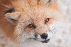 Czerwony lis w śniegu zdjęcia stock