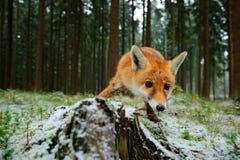 Czerwony lis w natura lasu siedlisku Czerwony foc brać z szerokim kąta obiektywem Zwierzę z drzewnym bagażnikiem Zielona trawa z  Obrazy Stock