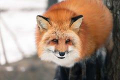 Czerwony lis w śniegu Zdjęcie Royalty Free
