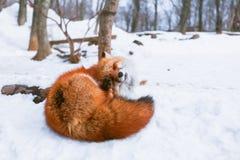 Czerwony lis w śniegu Obraz Stock