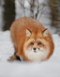 Czerwony lis w śniegu Fotografia Royalty Free