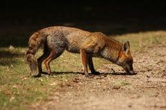 czerwony lisa obwąchanie obraz stock