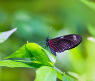 Czerwony listonosz motyli Heliconius Erato Notabilis Zdjęcia Stock