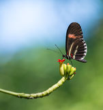 Czerwony listonosza motyl (Heliconius erato) Fotografia Stock