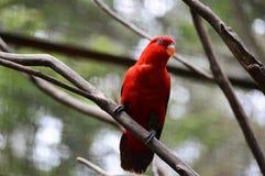 Czerwony Lory Obrazy Stock