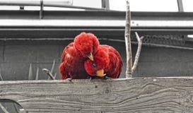 Czerwony Lory obraz stock