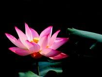 czerwony lotosowa Fotografia Royalty Free