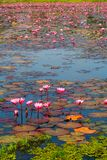 czerwony lotosowy kwiat w jeziorze Zdjęcie Stock